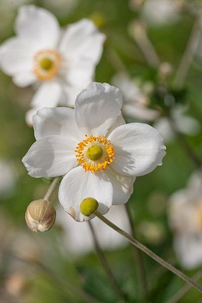 Anemone sylvestris 'Snow White'