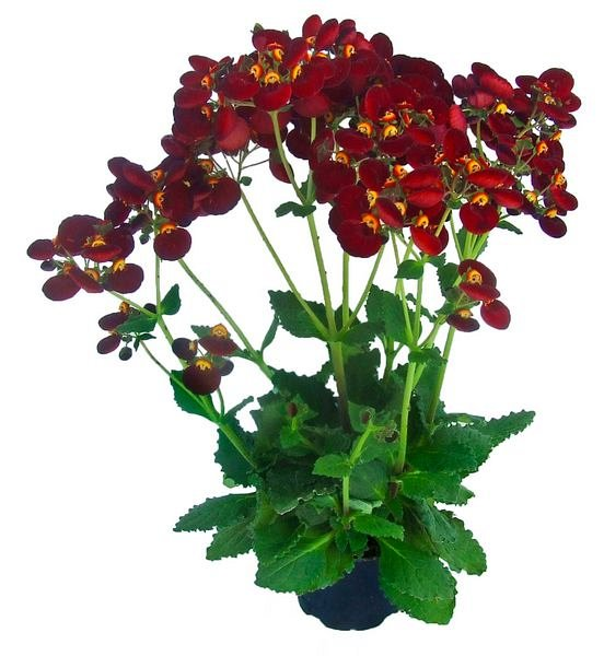 Calceolaria sel 'Calynopsis Dark Red'