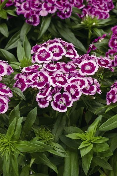 Dianthus barb. 'Barbarini Purple Picotee'