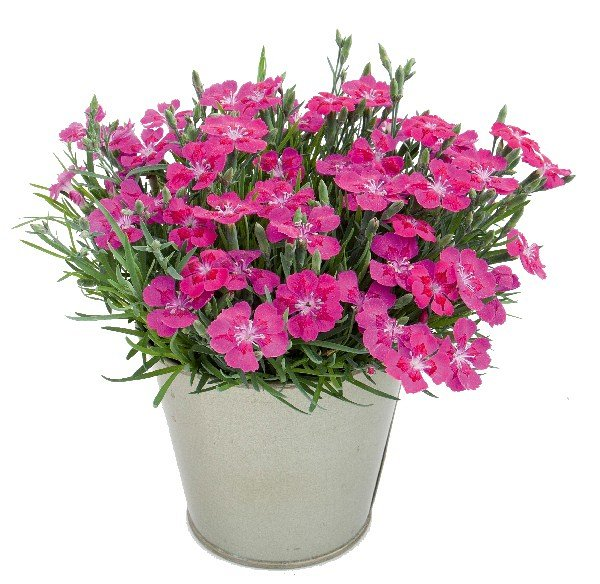 Dianthus  'Pillow Purple'