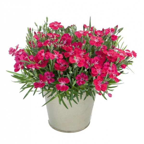 Dianthus  'Pillow Red'